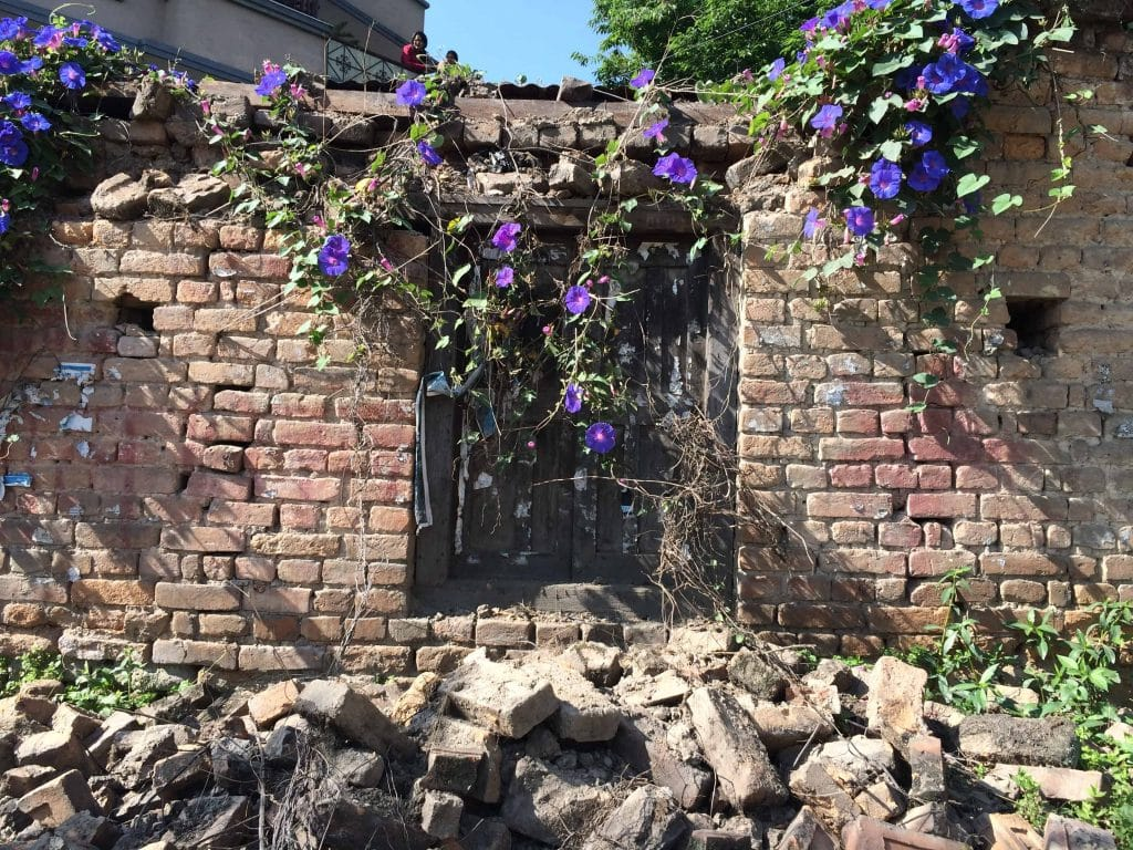 Morning Glories surround a building destroyed by the earthquake in Nepal